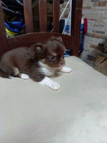 Cachorrinha chiuaua