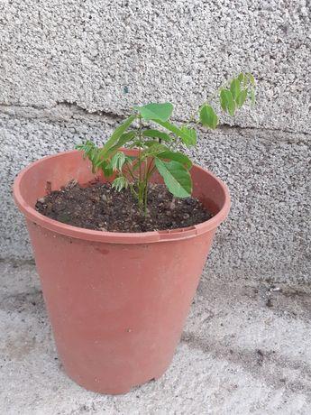 Trepadeiras para bonsai
