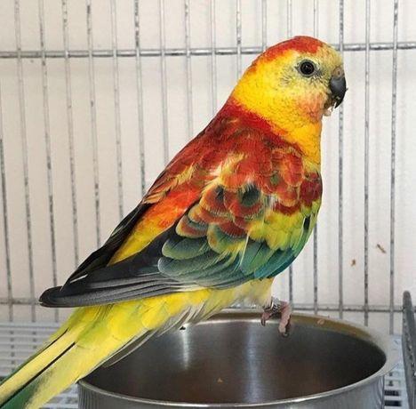 Певчие попугаи молоденькие