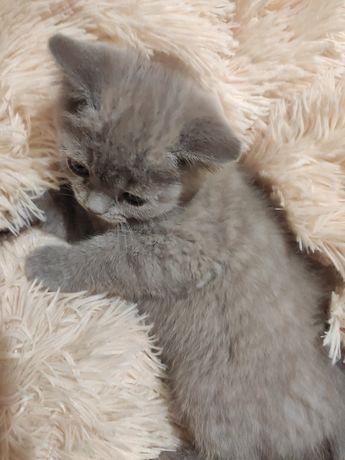 Кот, котенок лилового окраса.