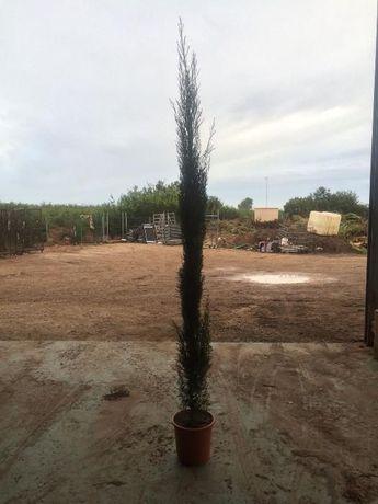 Cupressus sempervirens/ Cipreste Italiano/ Stricta/ Totem 70~900 cm
