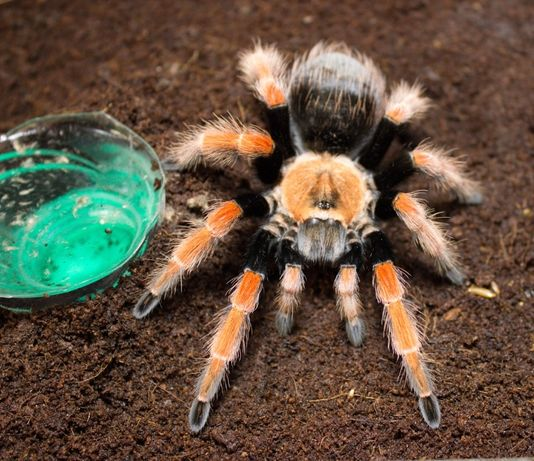 Тренд экзотика пауки птицееды brachypelma для новичков животные