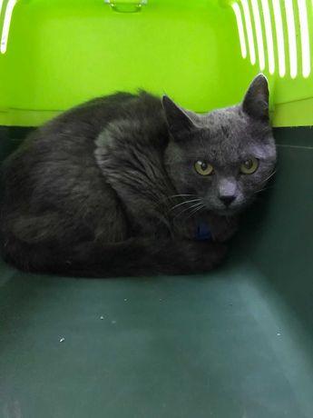 Найден кот серый британец русский голубой