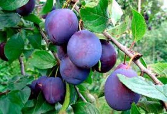 Саджанці плодових дерев від виробника опт