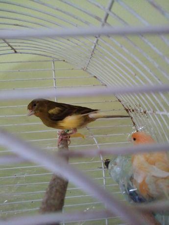 Kanarki samiec i samiczka