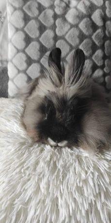 Sprzedam młodego samca królika angora