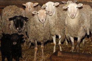 Продам овец, живым весом.