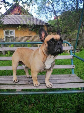 Французский бульдог ищет девочку для вязки за щенка.