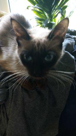 Отдам сиамскую кошку мышеловку
