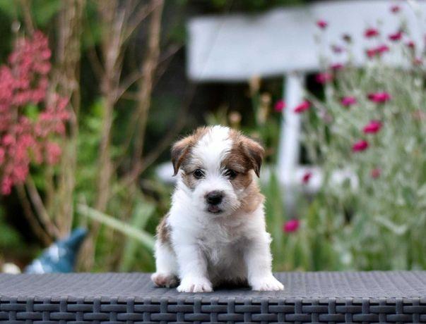 Świetny piesek rude znaczenia Jack Russell Terrier szczeniak ZKwP FCI!