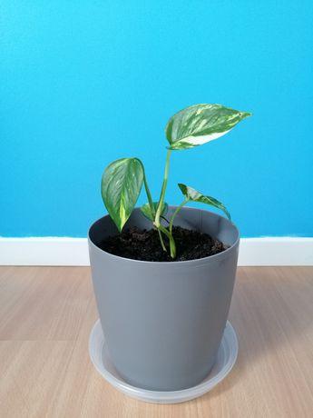 Planta trepadeira (jiboia)