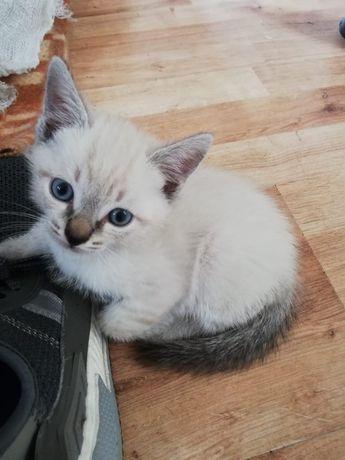 Сиамские котята,родились 1 апреля