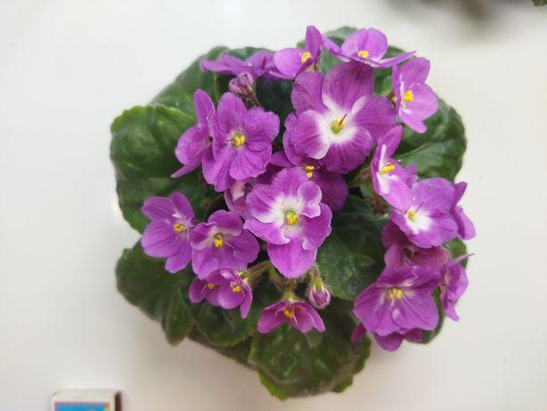 Срочно продам комнатные цветы, сортовые фиалки,хавортия, аглоанема.