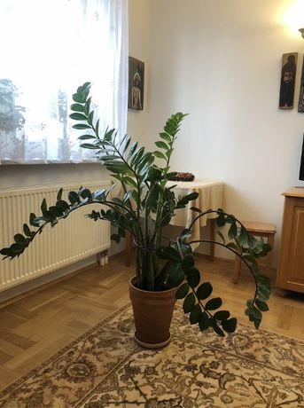 Zamiokulkas zamiolistny, wysokość ok 130 cm