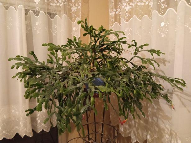 Grudnik - zygokaktus - kaktus Bożego Narodzenia w doniczce.