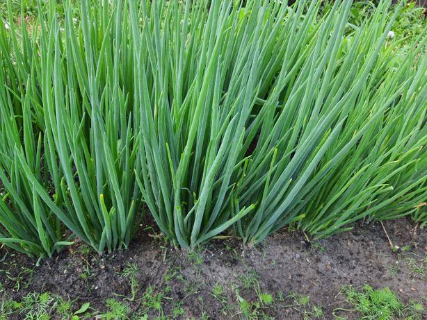 Многолетний лук батун (цена за куст 50) весь сезон беспрерывная зелень
