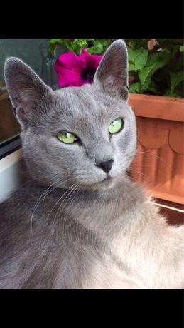 Kocur rosyjski niebieski zaprasza kotki