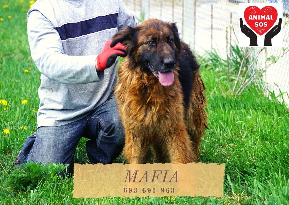 MAFIA - śliczna, duża suczka w typie owczarka niemieckiego szuka domu Aleksandrów Łódzki - image 1