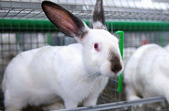 Кролики на племя Hyplus (Хиплус) 2-5 месяцев.