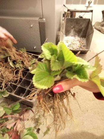 Sprzedam Sadzonki truskawek odmiana Honyoye luzem 35 gr