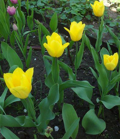 Желтые тюльпаны Strong Gold - луковицы - без минимального заказа