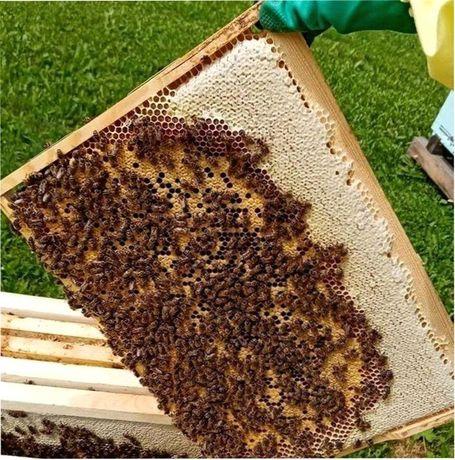 Пчелиные матки. Принимаю заказы. Продуктивные. Леклер. Карника