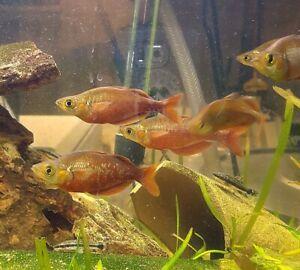Tęczanka czerwona 6-7 cm od 10 sztuk po 10zl