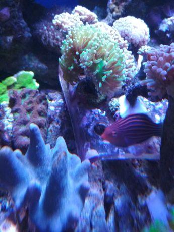 Favia Iron Man koralowiec lps