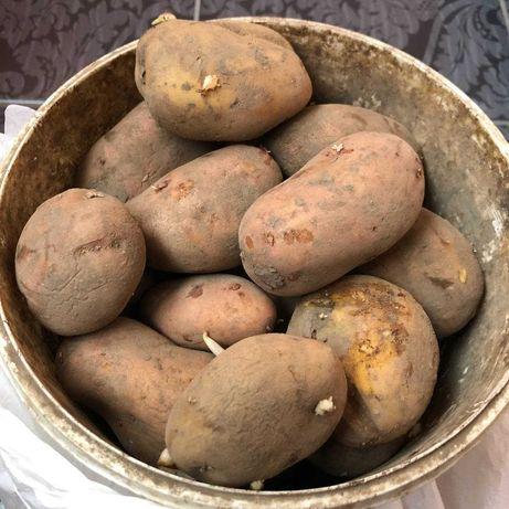 Продається домашня картопля