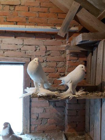 Gołębie, sprzedam