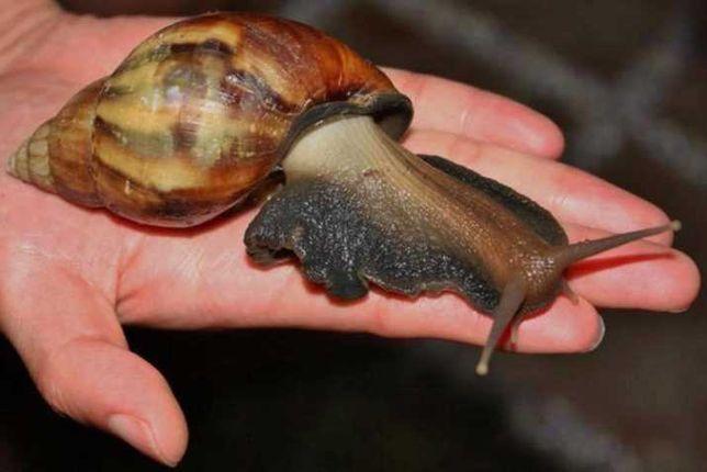 Акція!Продам равликів Ахатина від 20 гривень!