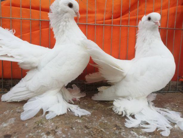 Gołębie rostowskie omskie