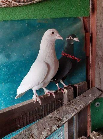 Sprzedam ładne gołębie pocztowe