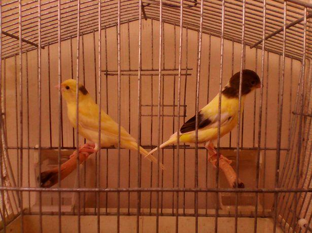 Kanarek-kanarki-samczyk