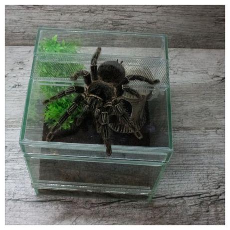 тарантул скорпион паук птицеед павук птахоїд брахіпельма подарунок под