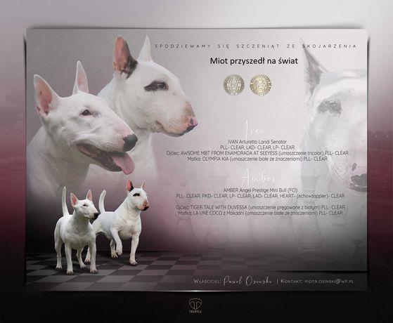 Szczeniaki Bulterier Miniaturowy, Minibull, Bullterrier ZKWP / FCI