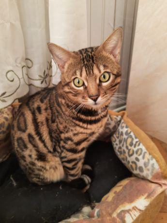 Бенгал бенгальский кот вязка