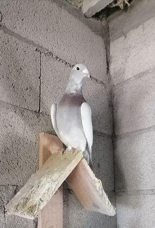 Pombos  Correios