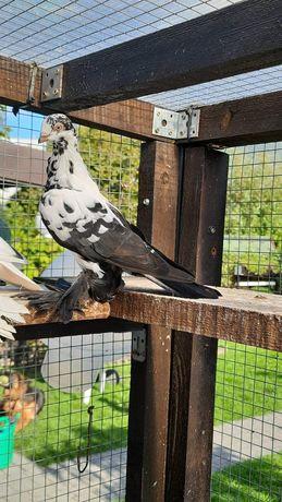 Widyn polski golebie młode