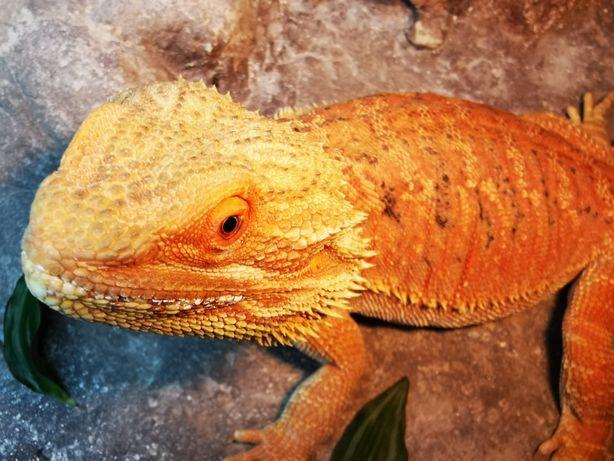 Agama Brodata. Rzadka odmiana kolorystyczna Orange Hypo