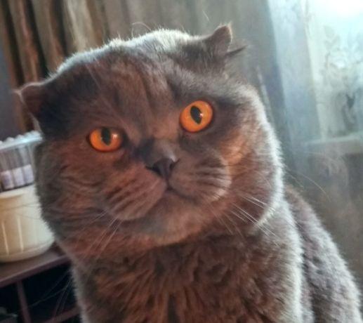 Вязка шотландский прямоухий кот