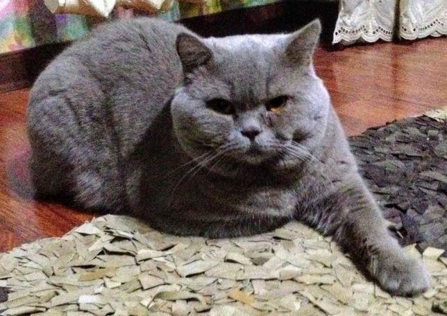 Опытный прямоухий (страйт) шотландский кот для вязки!
