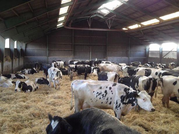 Dostawa 10.10 Krowy, jałówki hodowlane z najlepszych europejskich obór