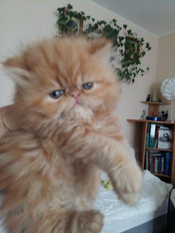 Śliczne ,puchate koteczki perskie