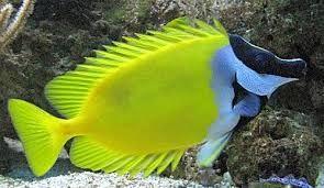 Akwarium morskie - Siganus (Lo) vulpinus