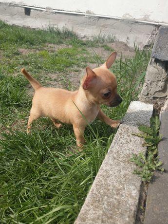 Cudne Szczenięta Chihuahua Piesek i Suczka
