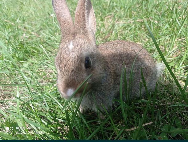 królik miniaturka króliczek