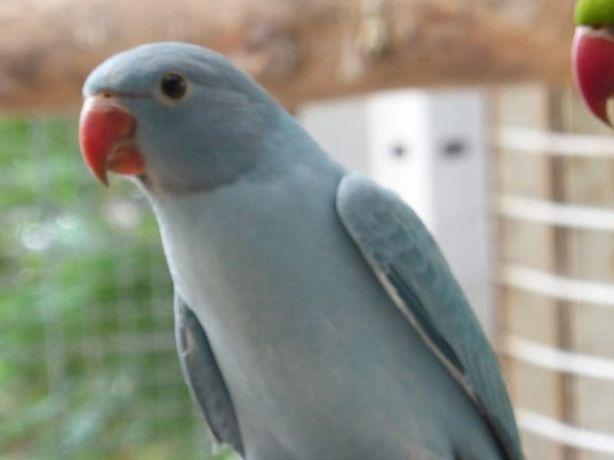 Ожереловые попугаи птенцы Зеленого,желтого,синего цвета