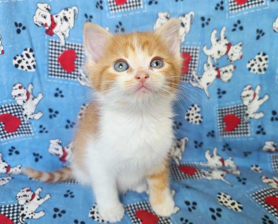 Снікерс, (1.5 міс). Маленьке біло-руде кошеня хоче до дому.