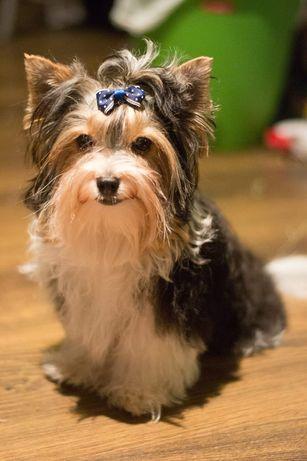 Yorkshire terrier Biewer - Reproduktor York